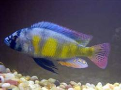Haplochromis Erythrocephalus