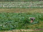 Champ de lotus au Cambodge