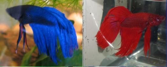 Buy a betta fish is the best choice for Easiest fish to take care of