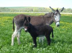 élevage d'ânes