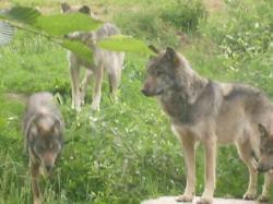 Zone de loups