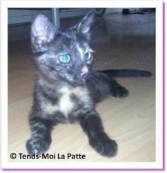 Lilou, chaton à adopter