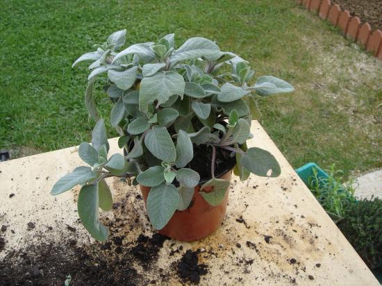 planter une sauge en pot