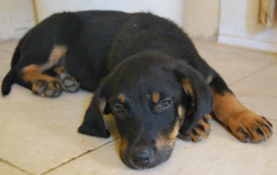 Chiot A Adopter Croise Beauceron